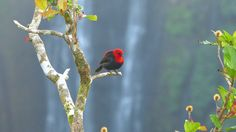Birdy in Samoa, in front of water fall.