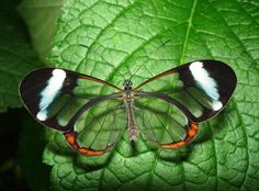 A Greta oto, conhecida como a borboleta de vidro, ou transparente, Fotografia Macro, Beautiful Nature Pictures, Nature Pics, Amazing Photos, Amazing Nature, Photoshop, Glass Butterfly, Butterfly Wings, Butterfly Top