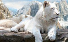 scaricare gli sfondi leone,  leone bianco,  bianco Sfondi gratis per la risoluzione del desktop 1680x1050 — immagine №374280