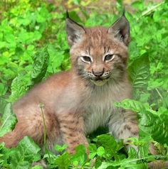 baby lynx cat | Lynx baby