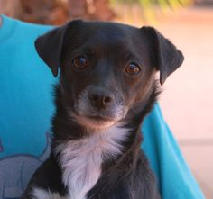 Caroline is a polite young girl asking for a gentle home where she will always be cherished.  She is a tuxedo Chihuahua mix, 3 years of age and spayed, debuting for adoption today at Nevada SPCA (www.nevadaspca.org).  Caroline is housetrained and compatible with cats and dogs.  She was at another shelter that asked for our help due to her timidity.