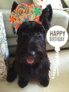 princess Miss Pickles Puppy Birthday, Animal Birthday, Baby Dogs, Dogs And Puppies, Doggies, Animals And Pets, Cute Animals, Terrier Dogs, Cairn Terrier