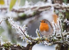 Robin by Gilbert Fortune on 500px