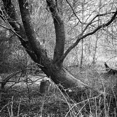 I Love this very old and large cherry tree that I pass on my dog walk. #cherrytree #tree #instatrees #sussex #woods #instagood #instalike #instaphoto #iphone7plus #blackandwhitephotography