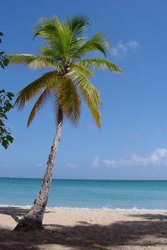 Le #cocotier : un #palmier symbole d'#exotisme