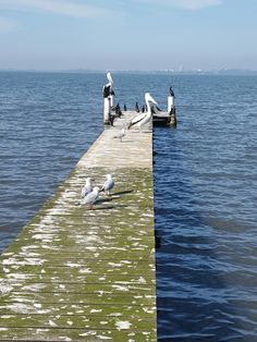 Pelicans on the jetty
