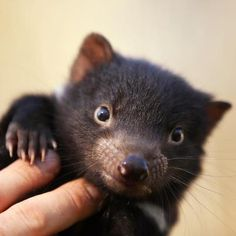 Tasmanian Devil - Australia - being bred at Barrington Tops to try and save them from extinction.....