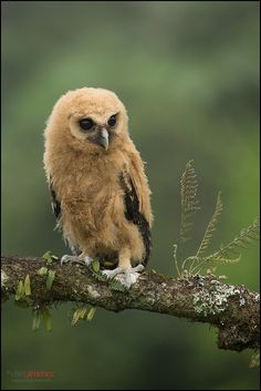 Mottled Owl (Strix virgata) juvenile perched on a branch