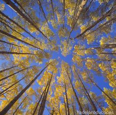 Aspens in Colorado by greghadel - Natural Landscapes Photo Contest