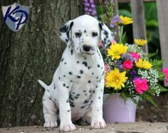 Lollipop – Dalmatian Puppy  www.keystonepuppies.com  #keystonepuppies #Dalmation