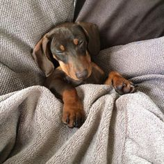 The Diverse Dachshund Breed - Champion Dogs Dachshund Breed, Long Haired Dachshund, Dachshund Love, Daschund, I Love Dogs, Cute Dogs, Best Apartment Dogs, Clever Dog, Education Canine