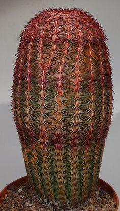 Echinocereus rigidissimus rubrispinus Cactus Gallery