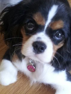 Cavalier King Charles Spaniel Pippa @ 16 weeks She's so adorable!