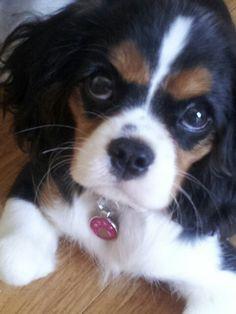 Cavalier King Charles Spaniel Pippa @ 16 weeks She's so adorable!