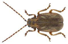 Family: Chrysomelidae Size: 4.5-6.5 mm Distribution: Central Europe to southern Europe, northern Ecology, on Viburnum Location: Germany, Bavaria, Oberpfalz, Michelfeld / Auerbach, Flembachtal leg.det. G.Uhmann, 1971 Photo: U.Schmidt, 2015
