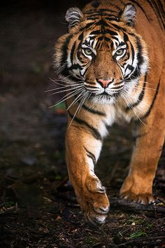 Tiger, tiger! Burning bright! In the forest, In the night, What immortal Hand or Eye Could fantom  Thy fearful symmetry! ...I think I remember it--William Blake