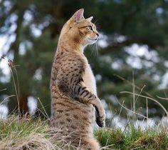 Egyptian Mau cat posing like meerkat.