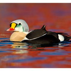 King of the Eiders
