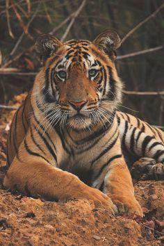 Italian-Luxury — thelavishsociety: Tiger Cub by Hemant Masurkar  ...