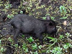 pig black holes - photo #44