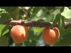 Velkopavlovická meruňka - YouTube Fruit, Flowers, Youtube, Gardening, Lawn And Garden, Royal Icing Flowers, Flower, Youtubers, Florals