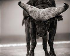 Buffalo With Lowered Head. © 2010 Nick Brandt