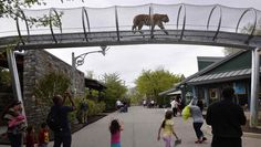 An Amur tiger walks over the new Big Cat Crossing as visitors look on at the Philadelphia Zoo in Philadelphia May 7, 2014. How's that for a catification!