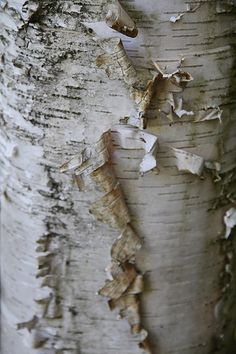Interesting bark that has started to peel. Birch Tree Art, Birch Bark, Wood Tree, Tree Illustration, Trendy Tree, Willow Tree, Tree Bark, Wood Texture, Textures Patterns