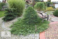 Juniperus horizontalis 'Prince of Wales' - Juniper, 'Prince of Wales' Creeping juniper
