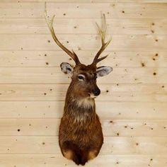 Sika Deer Taxidermy Mount SW4121 - Safariworks Taxidermy Sales