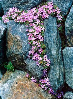 Flores entre pedras...