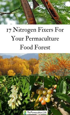 One reason permaculture designers want a nitrogen-fixing tree is as a pioneer to stabilize and improve soil conditions. They also can act as a