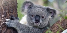 """""""There is a choice that must be made: do we want to protect koalas, or do we want to allow logging and... (4762 signatures on petition)"""