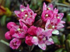 Sielikkö, Loiseleuria procumbens - Kukkakasvit - LuontoPortti