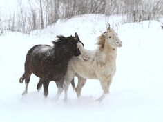 2015 Winter - A pair of horses play in the snow near Waukon, Iowa.