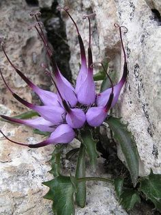 Physoplexis comosa (tufted horned rampion) is a species of flowering plant in th. - Physoplexis comosa (tufted horned rampion) is a species of flowering plant in th… - Unusual Flowers, Unusual Plants, Rare Flowers, Exotic Plants, Amazing Flowers, Purple Flowers, Beautiful Flowers, Lilies Flowers, Tropical Flowers