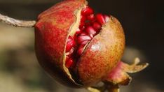 Pomegranate Farming: It is one of the commercial fruit crops of India.Pomegranate is known as a drought tolerant crop, yet regular Pomegranate Farming, Pomegranate Fruit, Weight Loss Tea, Losing Weight, Body Weight, Man Food, Superfood, Cooking Tips, Natural Remedies