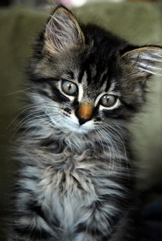 sweet maine coon kitty
