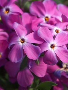 203 best flowers sun late springearly summer perennials images on phlox paparazzi britney mid spring to late spring short 8 10 mightylinksfo