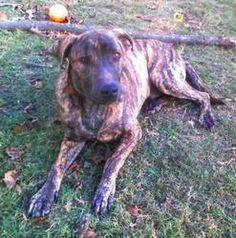 Tramp is an adoptable Catahoula Leopard Dog Dog in Spring, TX. � This beautiful brindle boy is known as Tramp because he runs around with Lady!�He thinks he is a big baby. Tramp is a submissive, nice,...