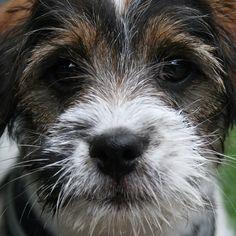heididahlsveen:  #atsjoo soon 12 weeks old #mixed #puppy #valp #dog #hund #svenskdanskgårdshund #germansheperd #buhund #bichonhavanais #shihtzu #westhighlandwhiteterrier