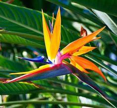 Image result for bird of paradise flower