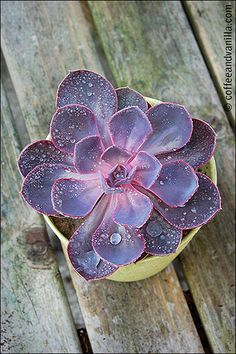Echeveria - Purple P