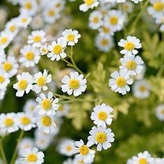 Feverfew (Tanacetum Parthenium) - Best Bouquet Flowers to Grow - Sunset Mobile (as filler)