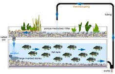 Aquaponics - the magic of fish-powered vegetable gardens,  This is the ultimate DIY project for gardeners - fresh vegetables AND protein at home, sustainable and environmentally friendly!