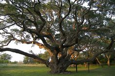 Wow... what a beauty!  Thought to be oldest #tree in #Texas.  :)