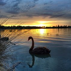 Instagrammer Gregorypegory shared this spectacular image of a black swan on a Canberra lake