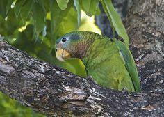 Yellow-billed Amazon(Amazona collaria)