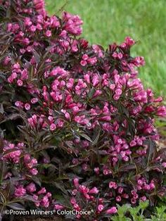 Weigela Spilled Wine - full sun, wide natural spreading habit, magenta pink flowers in spring; good as an edger or in mixed border; Garden Shrubs, Flowering Shrubs, Trees And Shrubs, Garden Plants, Water Garden, House Plants, Flag Pole Landscaping, Small Yard Landscaping, Landscaping Plants