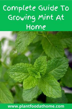Learn how to grow mint quickly and easily with our complete guide to growing mint at home. This flavorful herb is an amazing addition to the edible garden.